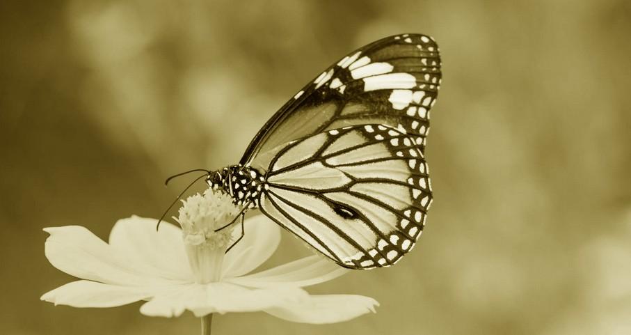 papilloon